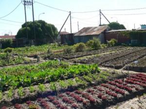 Ein großer Townshipgarten (ca. 2500 m² ), der täglich von 5 Bäuerinnen bewirtschaftet wird und somit fünf Familien ein Einkommen bietet